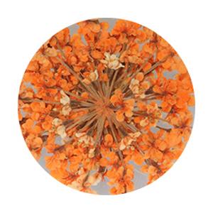 SHAREYDVA レースドライフラワー オレンジ